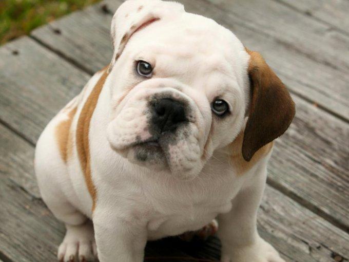 Bulldog Inglés / 10, 484 dólares