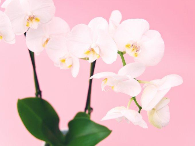 Estas flores son un must para quien busca el detalle perfecto. Las orquídeas son enigmáticas, elegantes y atractivas; cada especie es única y promete al tacto una caricia.