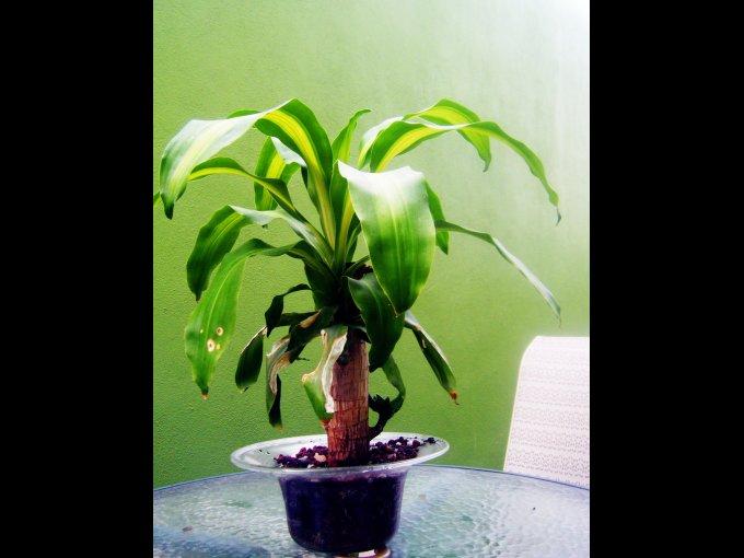 Es una de las plantas más usadas para decoración de interiores que tampoco requiere muchos cuidados. Aunque soporta el sol directo, la sombra parcial le cae muy bien.