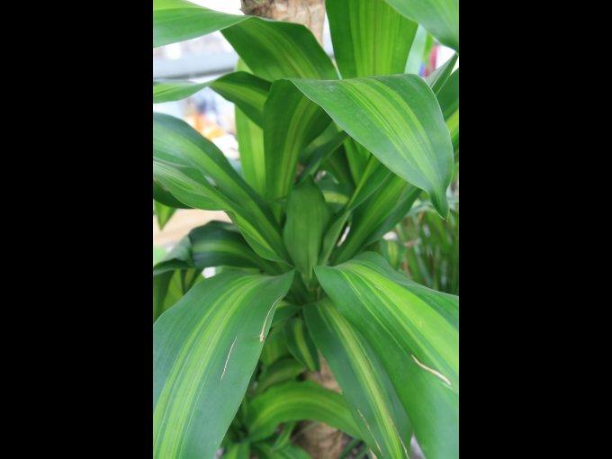 8. Palo de Brasil (Dracaena fragrans) / Origen: América tropical.