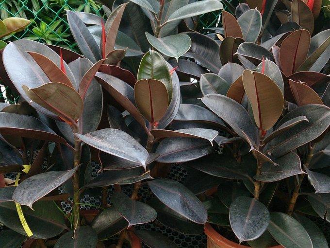 Como planta interior es muy resistente, con grandes hojas verde oscuro que requiere una guía para mantenerse erguida.
