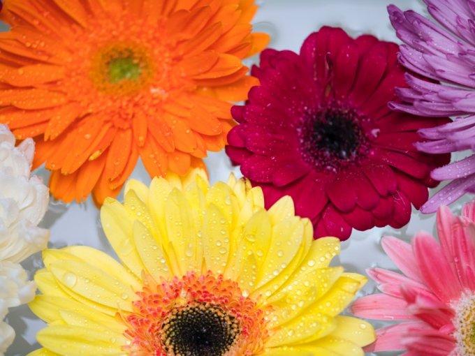 El significado de la gerbera es felicidad. Los celtas creían que la gerbera disminuiría las tristezas y el estrés de la vida cotidiana. Sin duda, las gerberas son flores para alegrar a alguien.