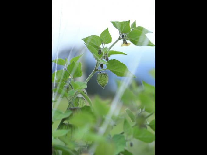 Planta de arándano sudamericano en Nature's Heart.