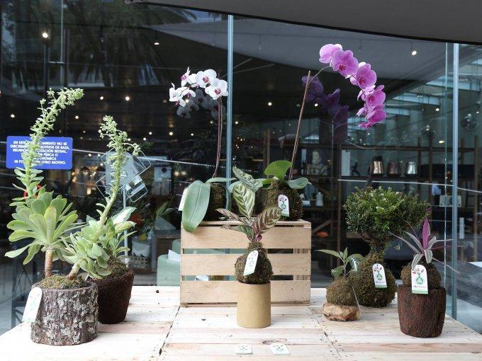 Las orquídeas y otras especies de Kokedamas tienen un diseño especial porque usan biotierra