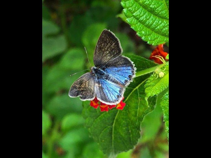 La mariposa monarca, además de colibríes, abejas, insectos y otras especies serán beneficiadas con esta iniciativa