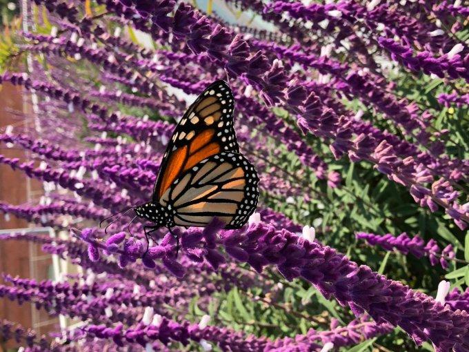 Contará con un jardín para polinizadores con más de 10 especies de plantas con flores ricas en néctar como la Lantana y Cosmos