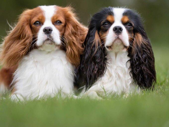Aunque no lo creas, existen razas de perro que se consideran como las más exclusivas y caras del mundo. Te mostraremos cuál es el top 10.