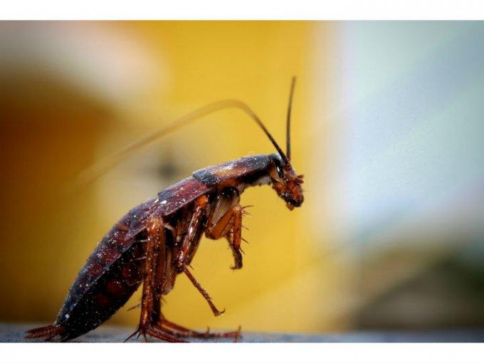 Leche de cucaracha:  Contiene un alto nivel de proteínas nutritivas que equivalen a un alimento completo.