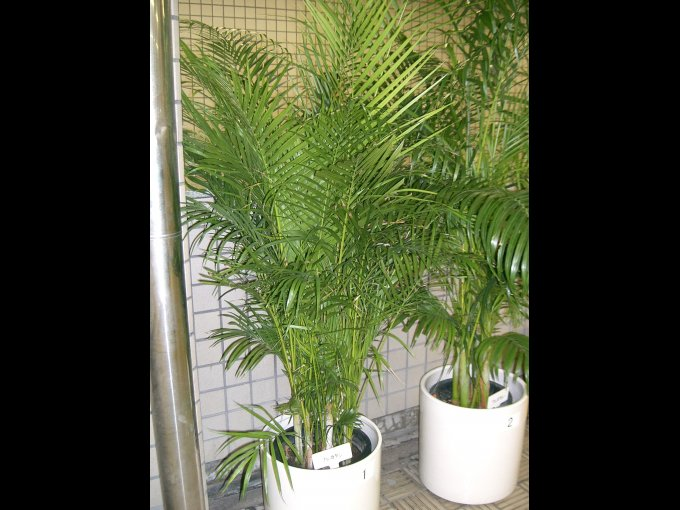 2. Palmera areca o palma amarilla (Chrysalidocarpus Lutescens) / Origen: Madagascar.