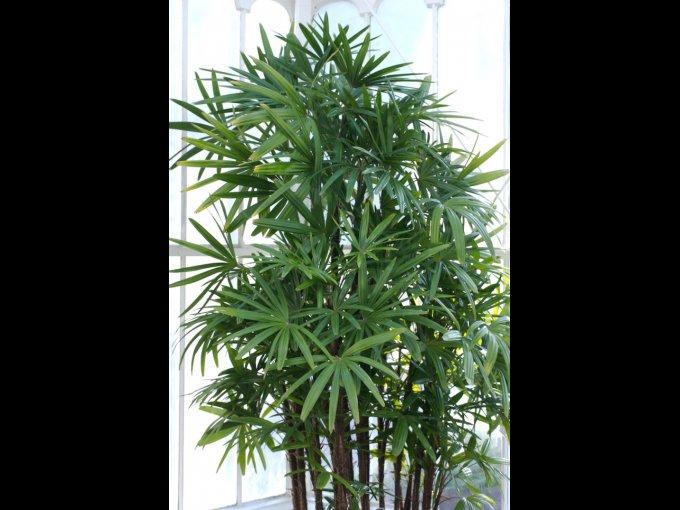 7. Palmera china (Rhapis Excelsa) / Origen: China.