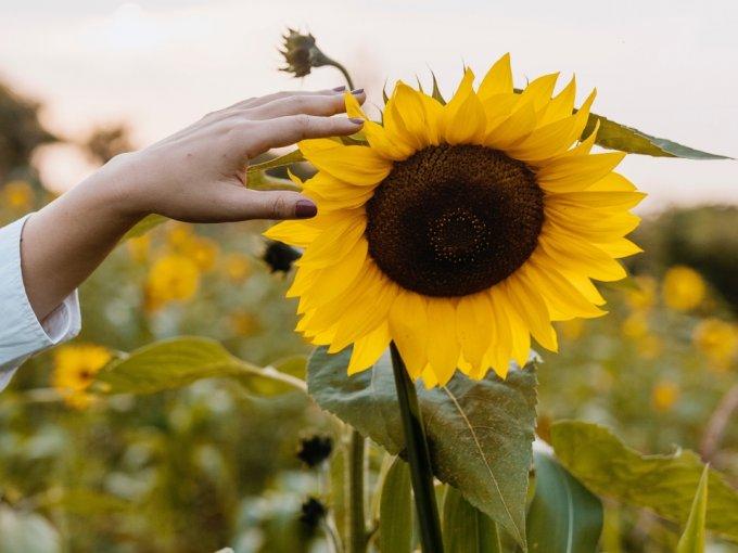 El girasol significa adoración y lealtad, porque sigue al sol. En otras culturas, puede significar larga vida, buena fortuna y vitalidad, además de generosidad.