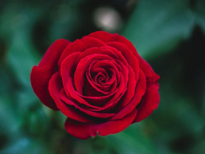Una rosa hace saber a quien la recibe que es considerada hermosa, mientras que una combinación de rosas rojas y blancas representan un amor apasionado.