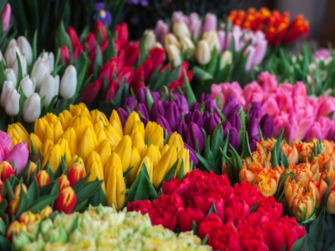 Los tulipanes son un aliado para realizar una declaración de amor, ayudados por sus cautivadores colores que evocan la alegría de primavera.