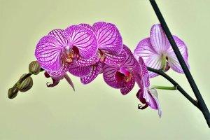 Orquídea fina Phalaenopsis
